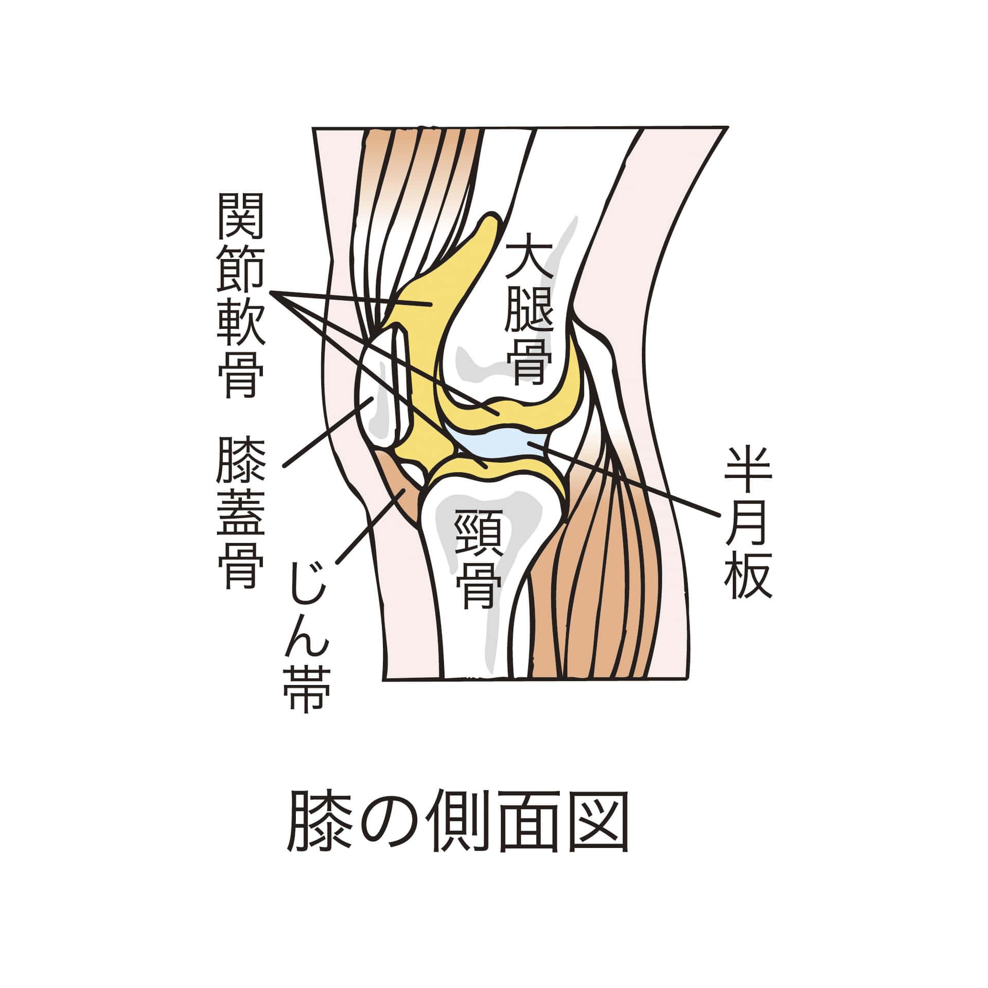 膝の痛み,半月板,原因